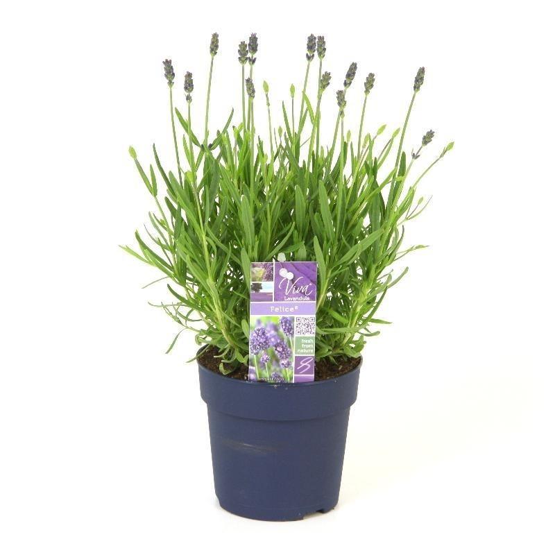 lavandula angustifolia felice vita nova flora. Black Bedroom Furniture Sets. Home Design Ideas