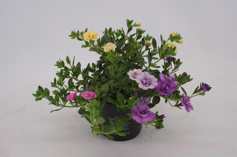 Calibrachoa trixi petticoat vita nova flora - Calibrachoa trixi ...