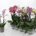 Ter Laak Phalaenopsis